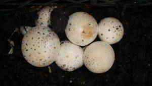 شرکت دینا قارچ ارنیکا آموزش و مشاوره رایگان پرورش قارچ